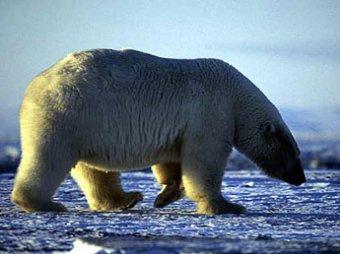 Владимир Путин надел ошейник на белого медведя