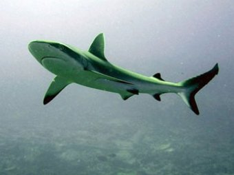 Российское побережье атакуют акулы