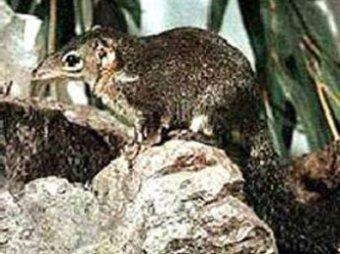Человек зародился не в Африке и был размером … с мышь!