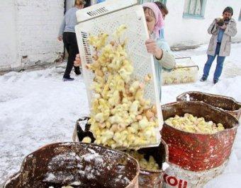 Шок: в Курске миллион живых цыплят залили водой на морозе