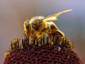 Ученые: вымирание пчел приведет к гибели человечества