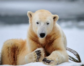 Самый известный медведь в мире внезапно умер на глазах поклонников
