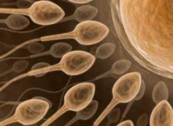 Ученые получили первые сперматозоиды «в пробирке»