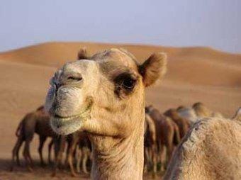 В Казахстане водитель КАМАЗа задавил 15 верблюдов, приняв их за злых духов