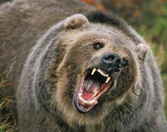 В Красноярском крае медведь загрыз женщину