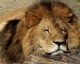 В зоопарке жирафа прилюдно скормили льву