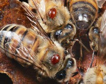 Ученые раскрыли тайну массовой гибели пчел по всему миру