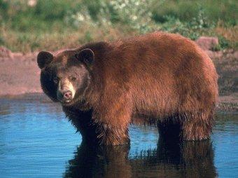 Осужденного за убийство съел медведь