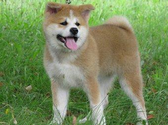 Путину подарили японского щенка, а он пообещал подарить сибирского кота