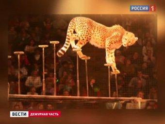 ЧП в цирке-шапито Тольятти: гепард бросился на детей