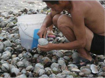 На пляжи под Владивостоком пролился дождь из съедобных моллюсков