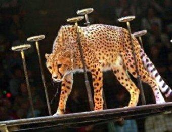 В цирке в Домодедово гепард растерзал 7-летнего ребенка