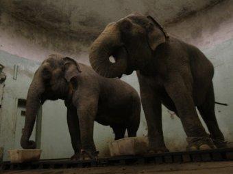 Сибирские слоны-погорельцы выпили два ящика водки