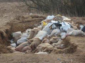 900 мертвых свиней обнаружили в реке, снабжающей водой Шанхай