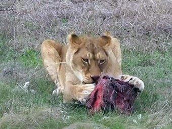 В Зимбабве лев растерзал женщину во время секса
