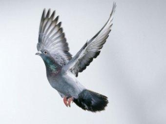 В Бельгии самый быстрый голубь ушёл с молотка за рекордные  тыс