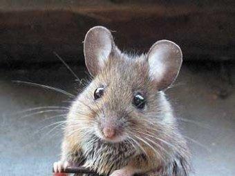 В Японии ученые клонировали мышь из одной капли крови