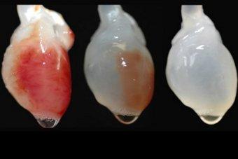 Ученые смогли превратить мышиное сердце в человеческое