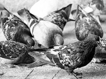 Московским голубям поставлен диагноз