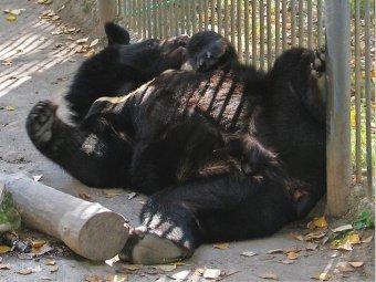"""В Приморье """"храбрые"""" полицейские восьмым выстрелом убили гималайского медвежонка"""