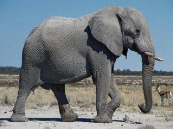 В Танзании слон растоптал преподавателя из США
