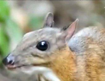 Ученые сумели заснять редчайшего мышиного оленя