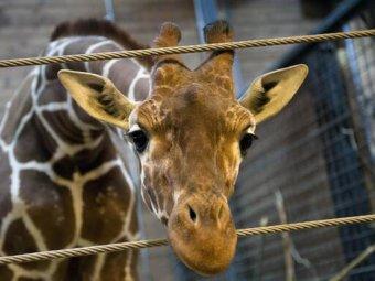 В зоопарке Копенгагена на глазах посетителей убили жирафа