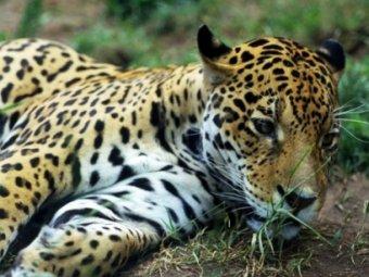 В зоопарке Караганды ягуары растерзали медвежонка на глазах у детей