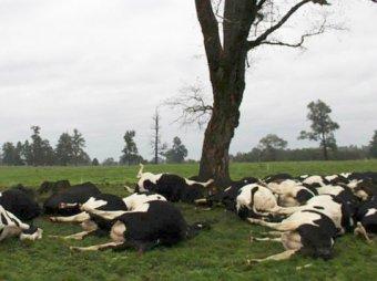 В Чили от удара молнии погибло стадо коров