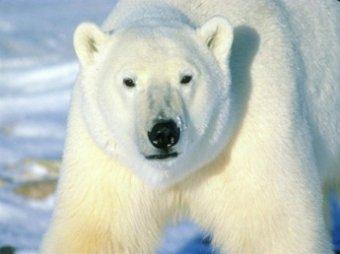 Впервые в мире белый медведь заснял себя на видео
