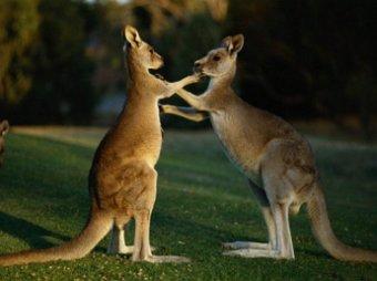 В пригороде Сиднея подрались кенгуру