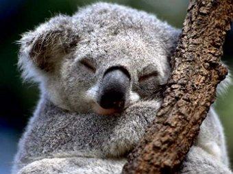 Правительство Австралии за несколько лет усыпило 700 коал