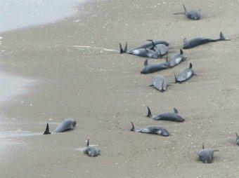Около 150 дельфинов выбросились на побережье Японии