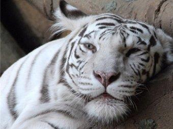 В Москве задержаны браконьеры, торгующие тигриным мясом и руками