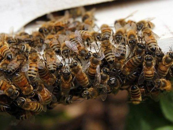Пчелы атаковали пассажирский самолёт во Внуково