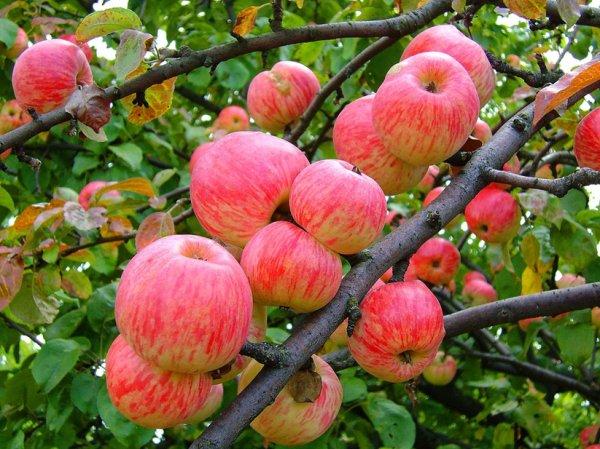 Яблочный Спас в 2015 году: приметы и обычаи