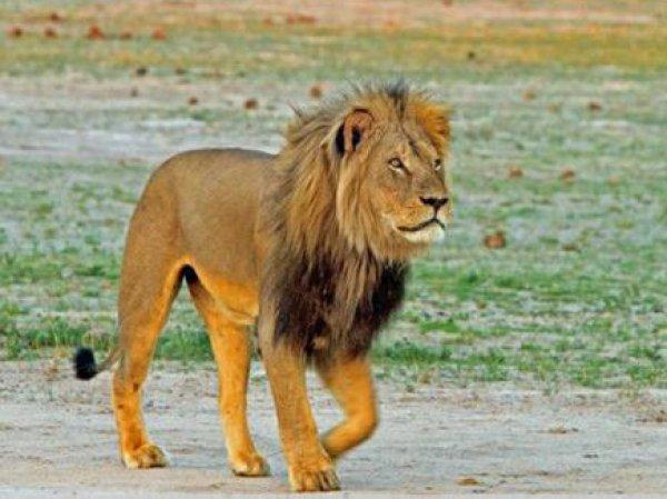 В Зимбабве браконьеры убили брата знаменитого льва Сесила