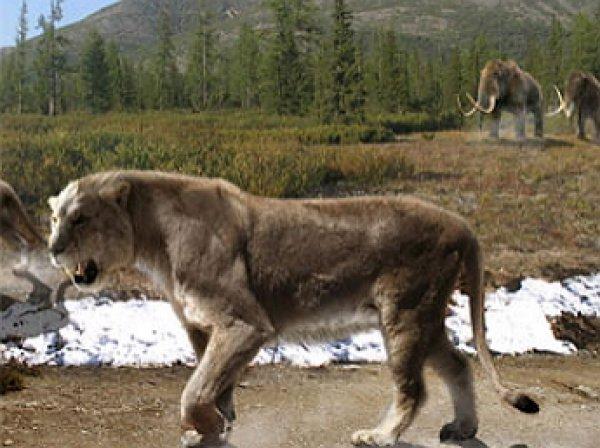 В Якутии найдены останки пещерного льва возрастом свыше 10 тыс. лет
