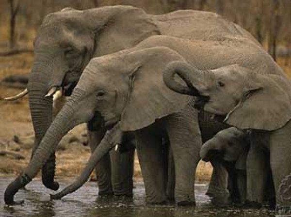 Ученые выяснили, почему слоны не болеют раком
