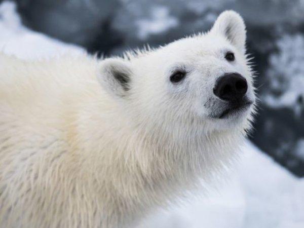 Медведица съела петарду: теперь следствие выясняет, жива она или нет (видео)