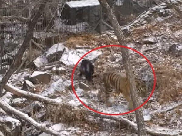 Опубликовано видео игры тигра Амура с козлом Тимуром