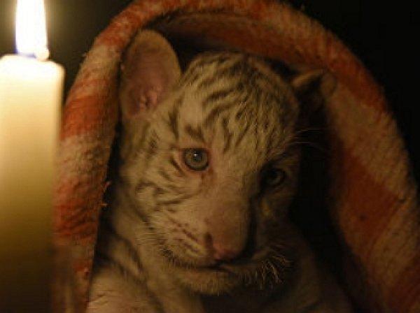 Установлена причина смерти «краснокнижных» тигрят в крымском зоопарке