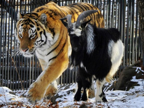 Про тигра Амура и козла Тимура хотят снять полнометражный мульфильм