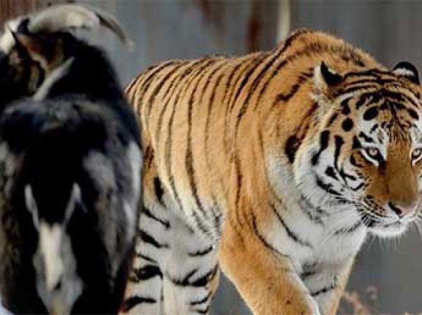 Тигр Амур и козел Тимур научились играть в регби