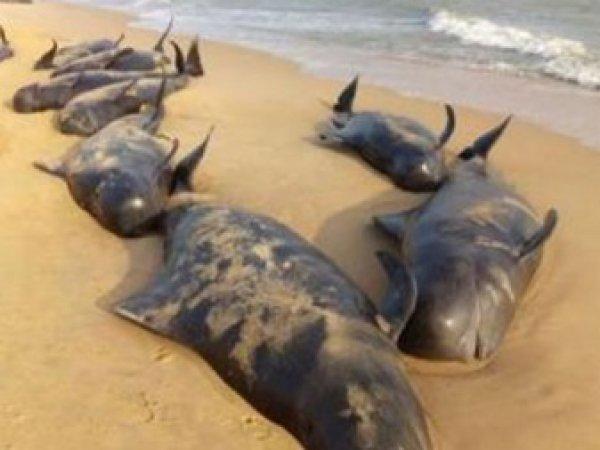 В Индии на берег выбросились около 100 китов