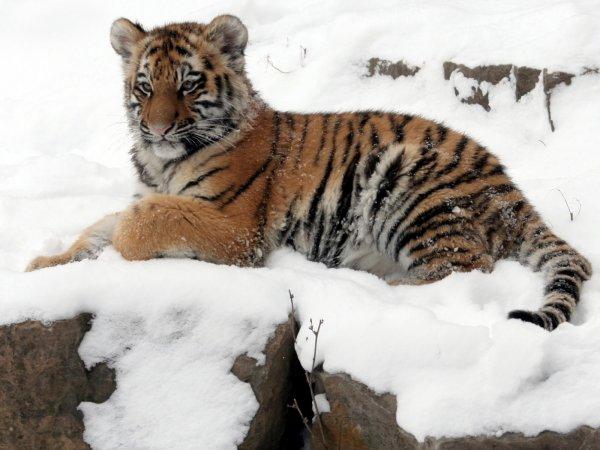 """В Приморье умер тигренок, найденный у нацпарка """"Земля леопарда"""""""