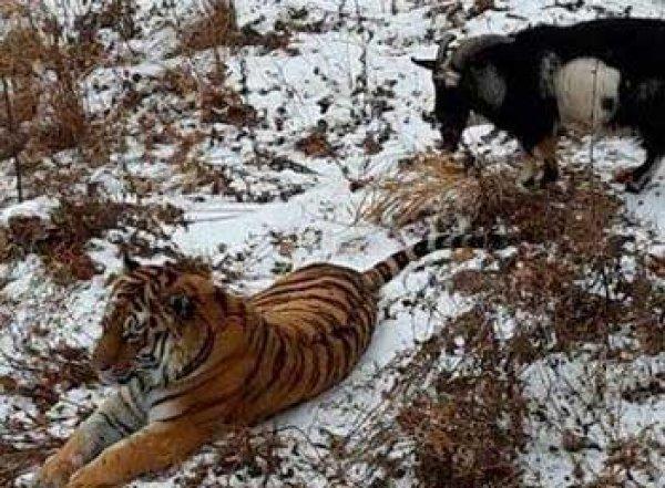 Во время мощнейшего снегопада тигр Амур обогрел козла Тимура