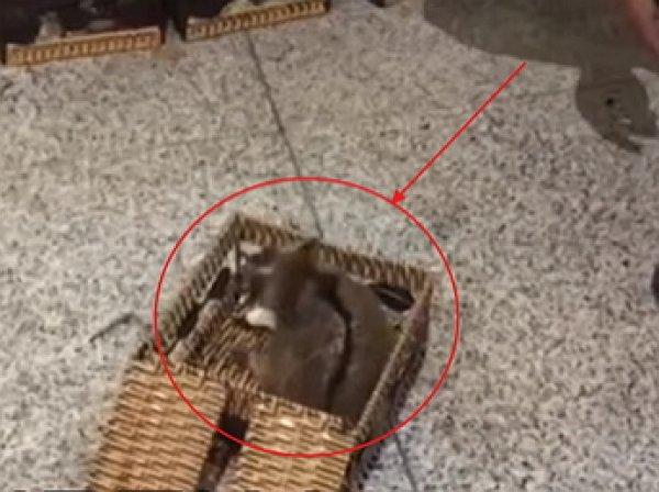 В Домодедово у вьетнамца изъят чемодан с обезьянами и лемурами