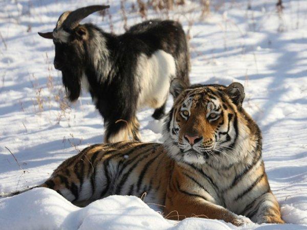 Тигр Амур и козел Тимур, последние новости: тигр Амур впервые напал на козла Тимура (ВИДЕО)