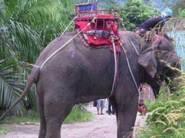 В Таиланде взбесившийся слон убил туриста и ранил проводника